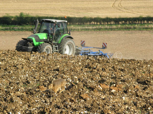 Brown Hare Chasing a Tractor on Farmland