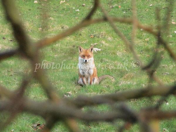 Mr Fox in Frame
