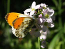 Orange Tip Butterfly on Lady's Smock
