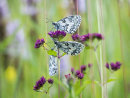 Marbled White Trio