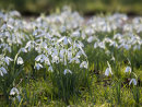 Snowdrops Galore