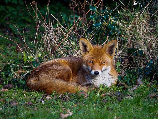 Lovely Fox in Garden