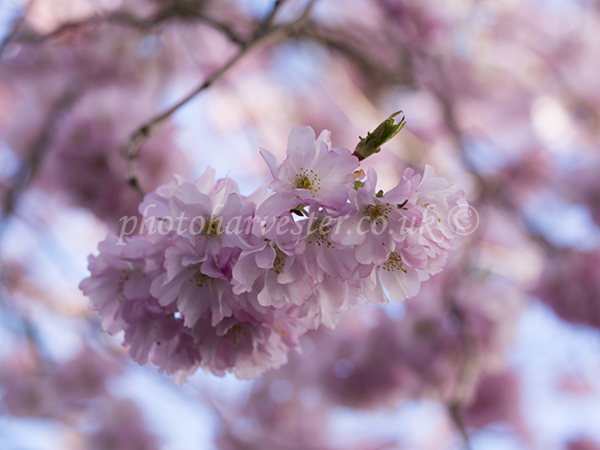 Prunus Accolade