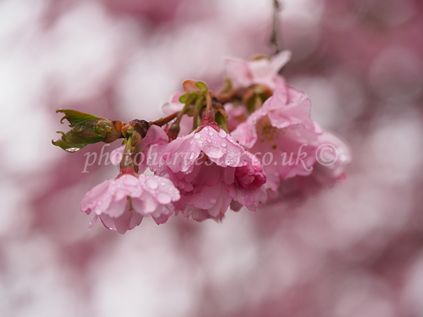 Prunus Accolade Sprig