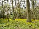 Celandine Woodland