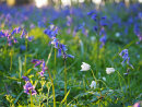 Windflowers and bluebells in evening sunlight