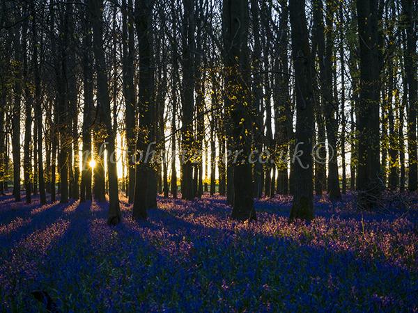 Sunburst in Dockey Wood Bluebells