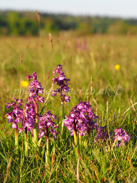 Green-winged Orchids Portrait