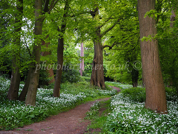 Path through the Wild Garlic