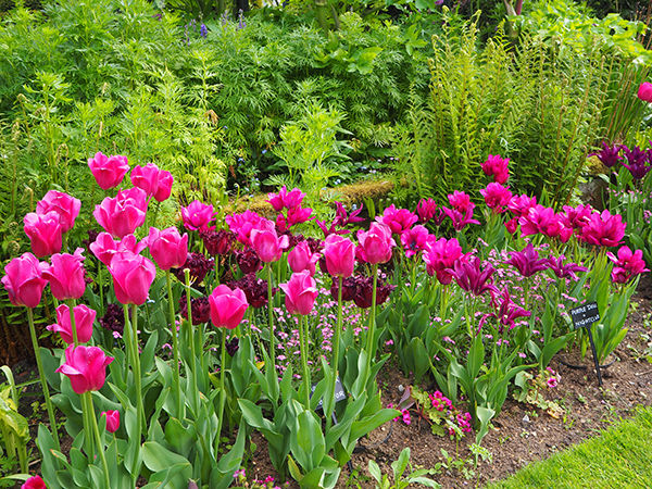 Chenies Manor Tulips in Purple and Pink.