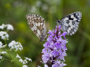 Marbled White pair on Spotted Orchid