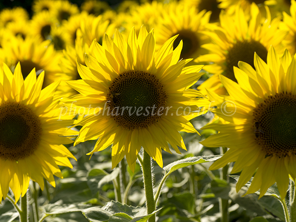 Sunflowers Trio
