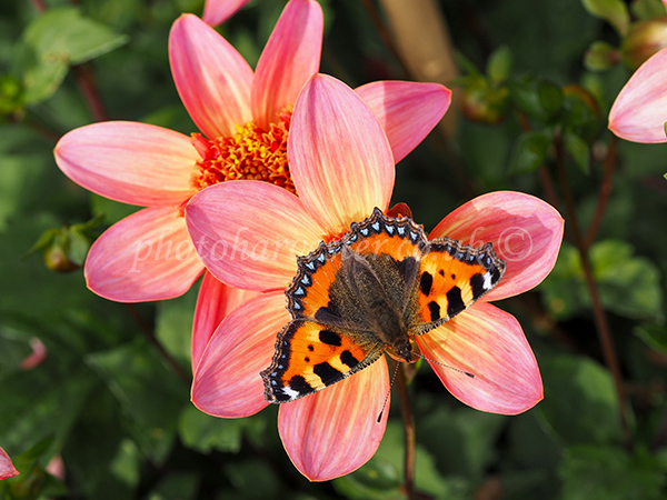 Small Tortoiseshell Butterfly on Dahlia
