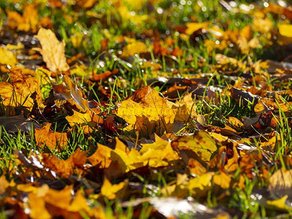 Autumn leaves in low sun