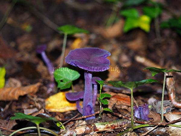 Amethyist Deceiver fungus