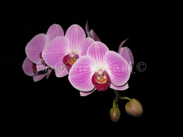 Phalaenopsis Orchid canvas