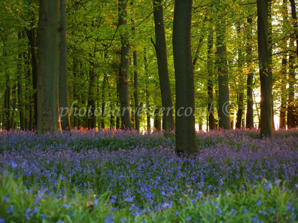 Ringshall; Bluebells at Sundown