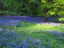 Bluebells on a Grassy Bank