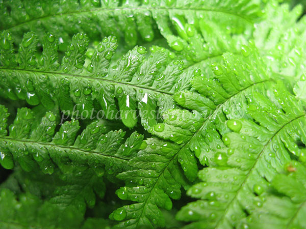 Green Ferns in the Rain