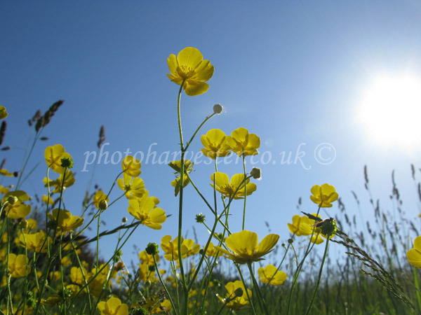 Buttercups with a Hoverfly