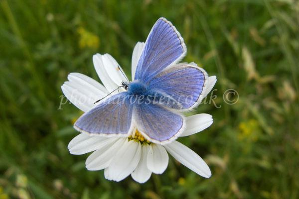Common Blue Butterfly on Ox Eye Daisy