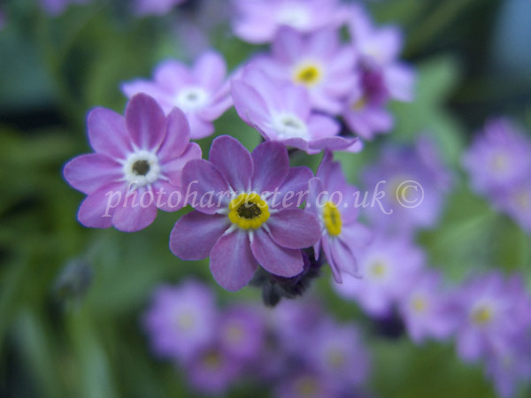 Pink Forget Me Not
