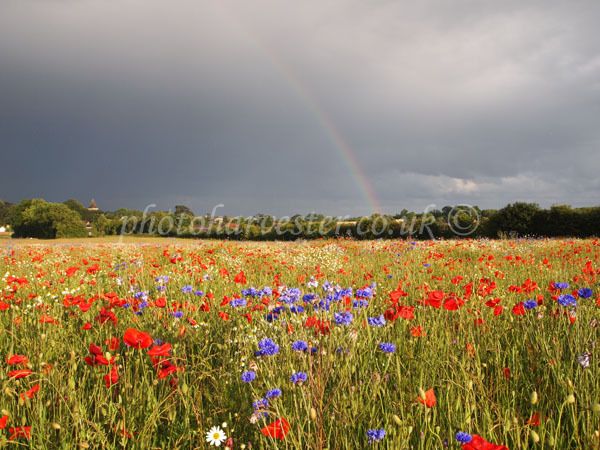 Rainbow over Poppies