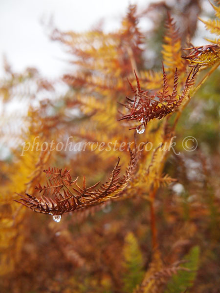 Raindrops on Bracken
