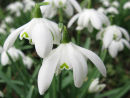 Snowdrops Growing Wild