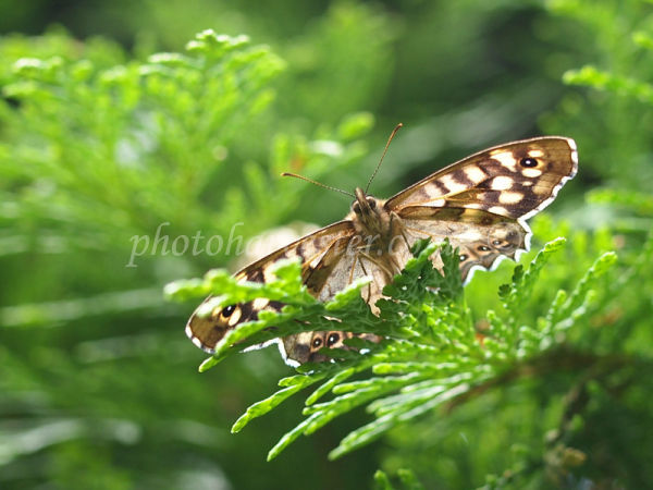 Speckled Wood with sunny highlights