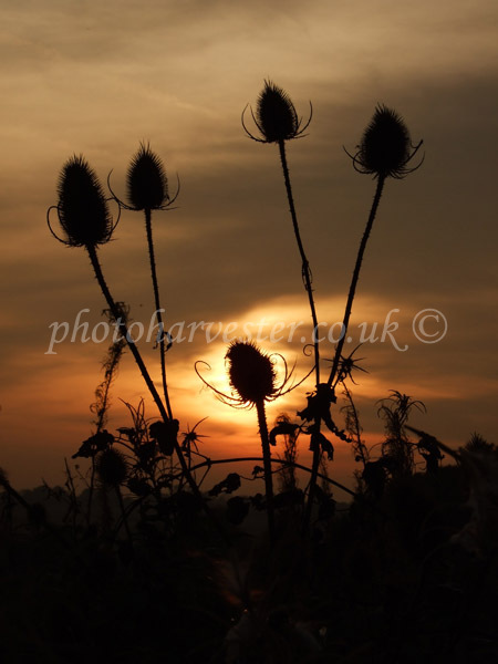 Teasel Sunset