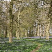 Spring Walk amongst the bluebells
