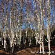 Sparkling Silver Birch