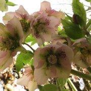 Spring helebores