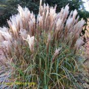Beautiful autumnal grasses