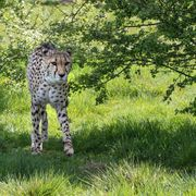 Achilles the cheetah