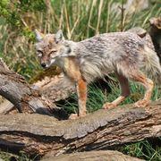 Corcas fox