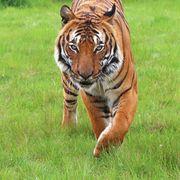 Cicip a Malaysian Tiger