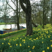 Daffodils on the river bank