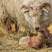 Newborn lamb at Wimpole Hall