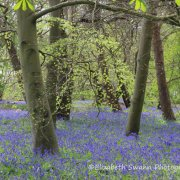 Bluebells in Woods at Sutton Hoo
