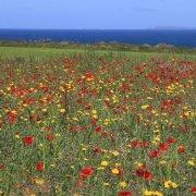 Cornish poppies