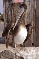 Brown Pelican - drying wings