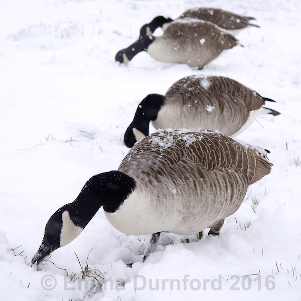 Canada Geese on the Thames tow path