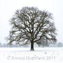 Oak tree in a Blizzard