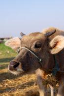 Water buffalo calf