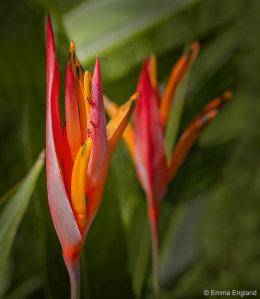 Parrot's Flower