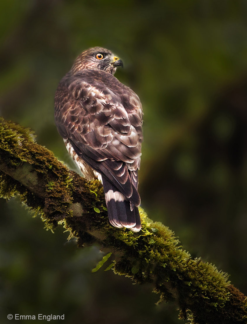 Broad-winged Hawk in the Rainforest