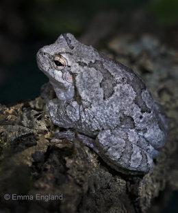 Gray's Tree Frog