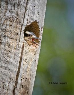 Nestling Hairy Woodpecker